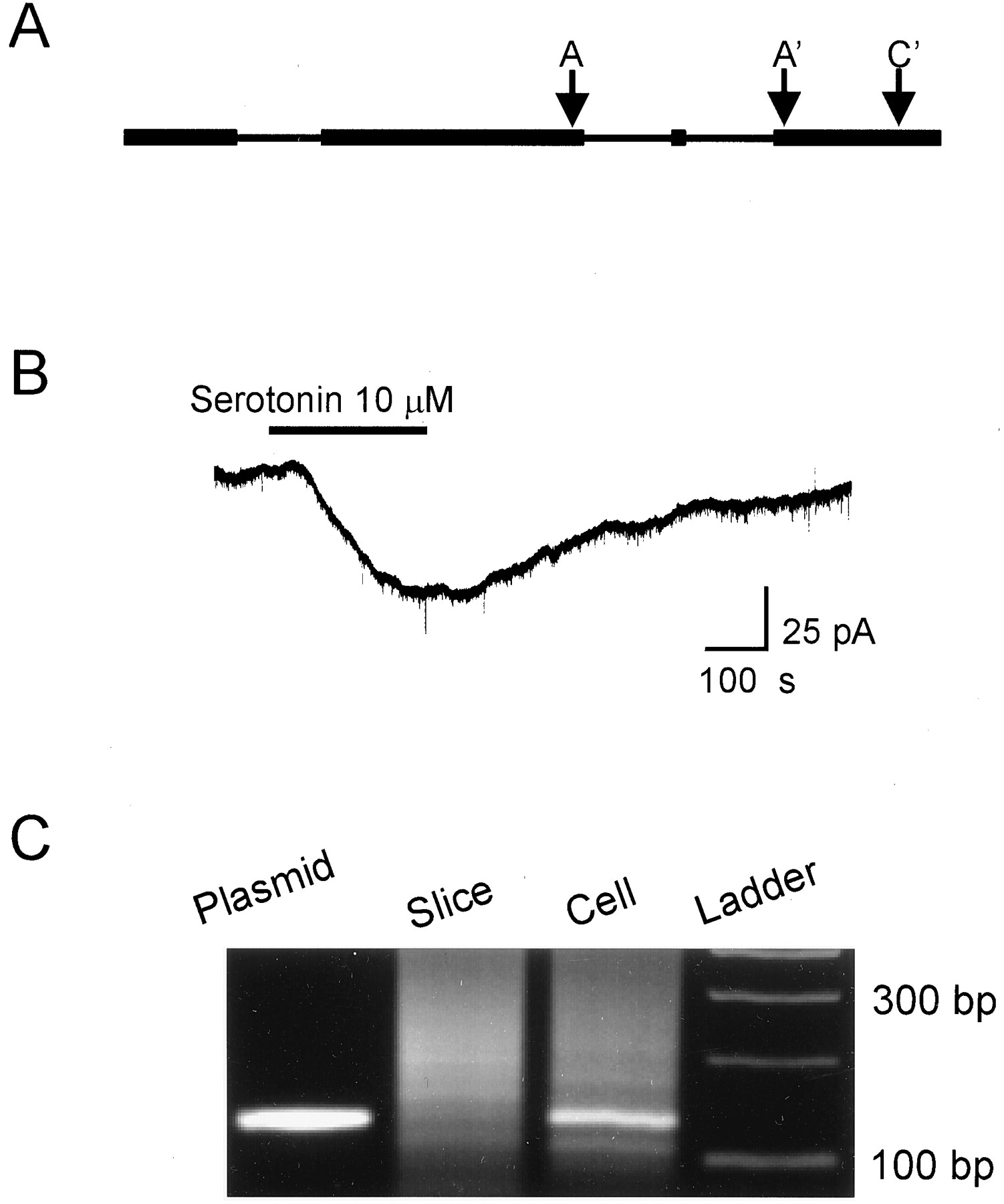 A 5 Ht7 Receptor Mediated Depolarization In The Anterodorsal Figures 514 Block Diagrams Of Led Report Download Figure
