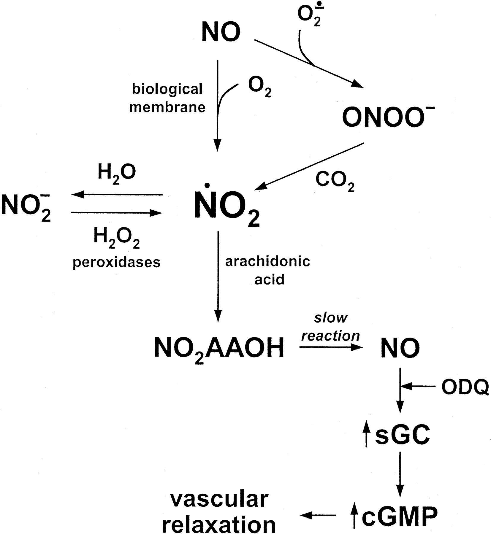 Vicinal Nitrohydroxyeicosatrienoic Acids: Vasodilator Lipids Formed