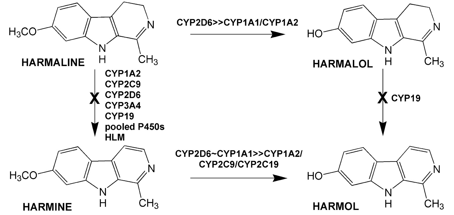 Contribution Of Individual Cytochrome P450 Isozymes To Theo