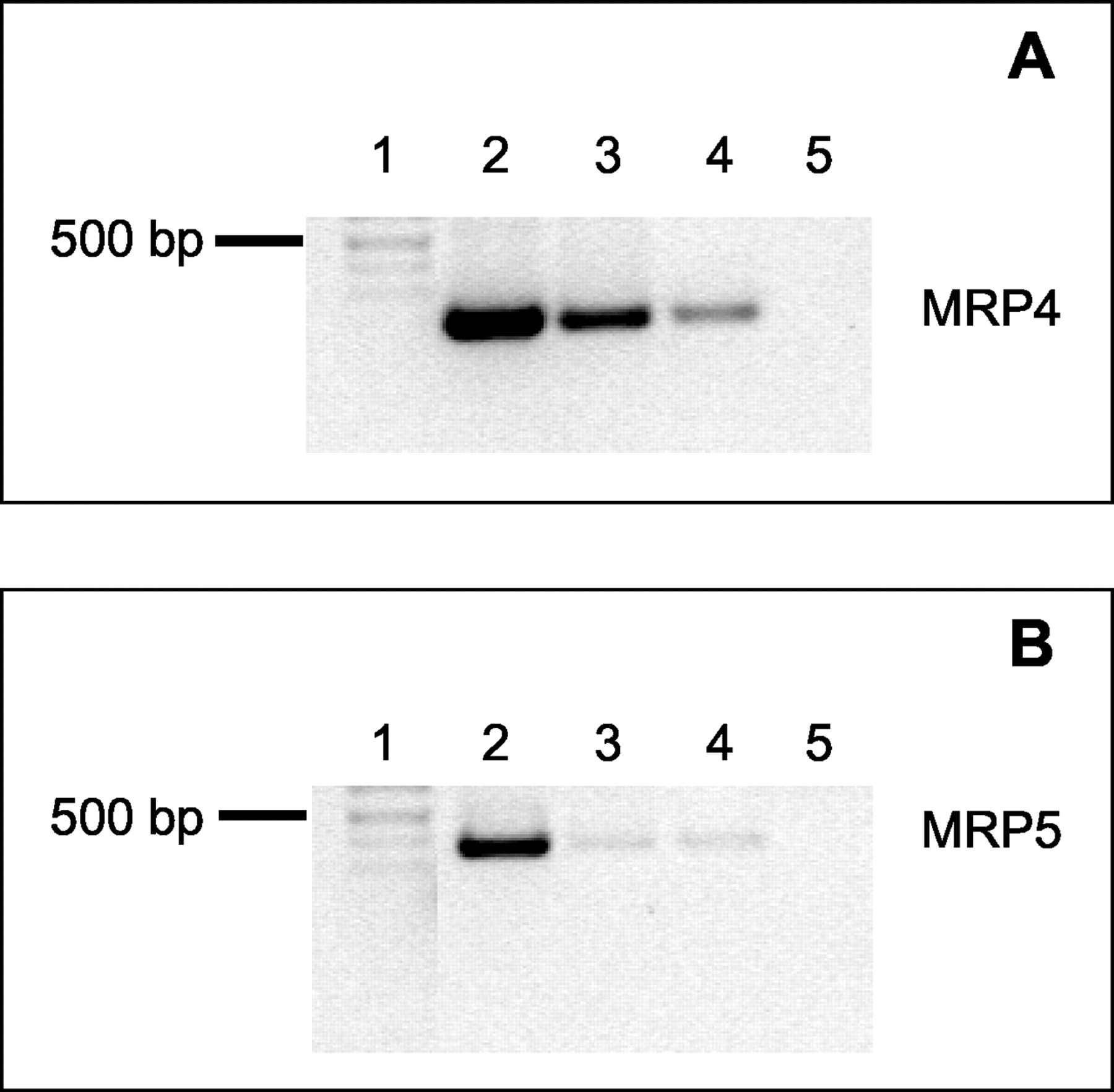 Multidrug Resistance Protein Mrp 4 And Mrp 5 Mediated