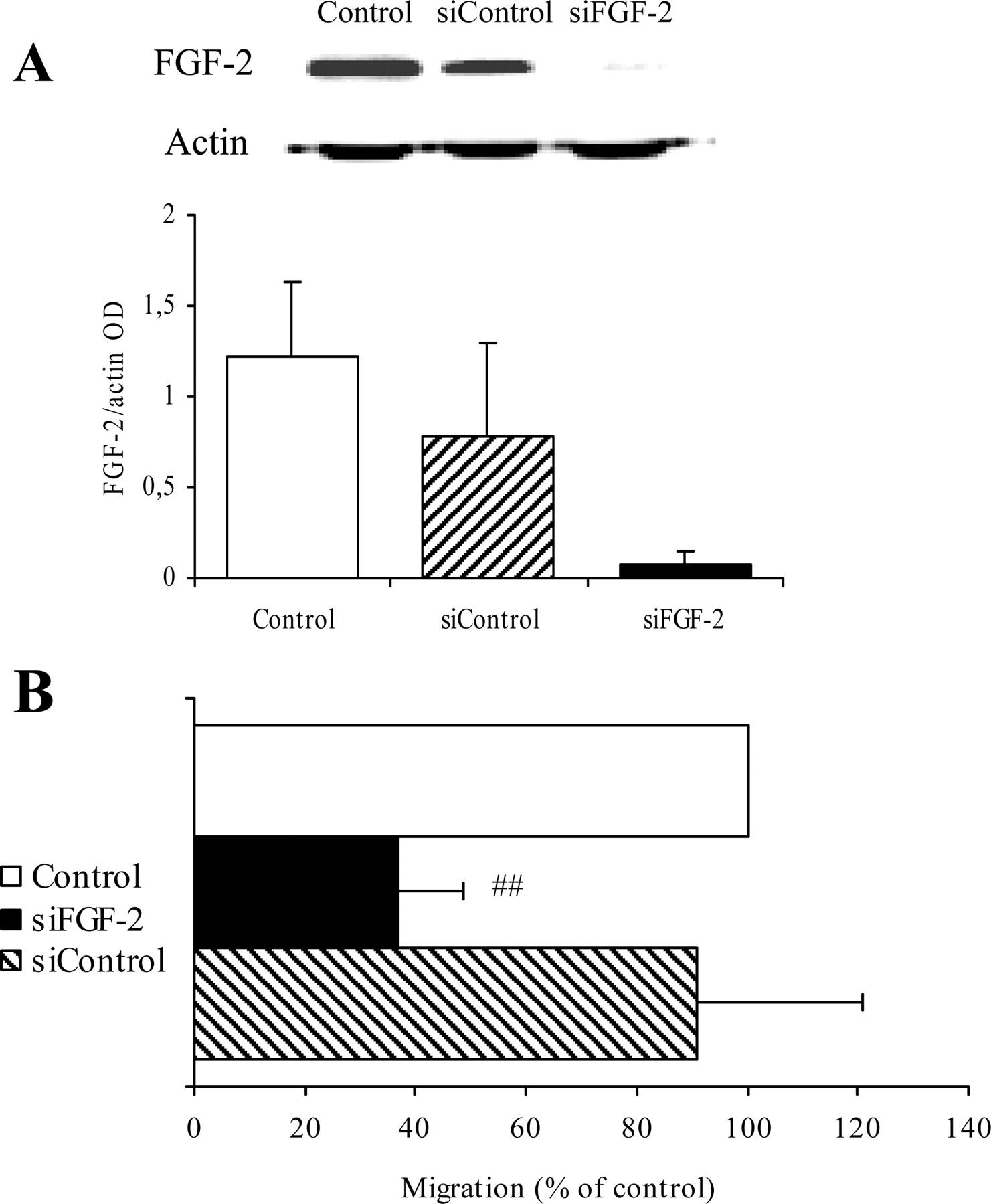 Fibroblast Growth Factor 2 Mediates Angiotensin Converting Enzyme