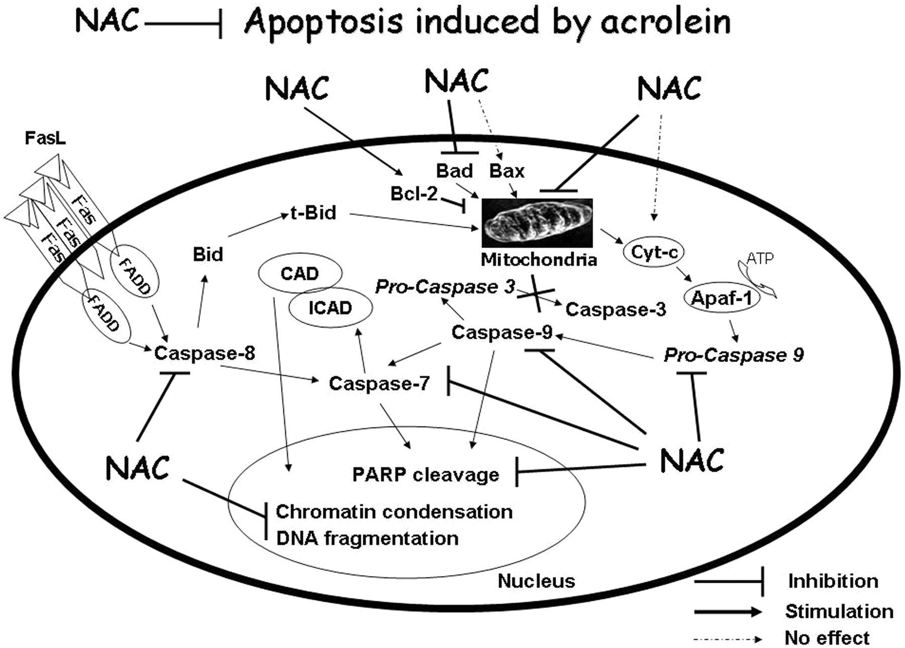 mechanism of action of antioxidants pdf