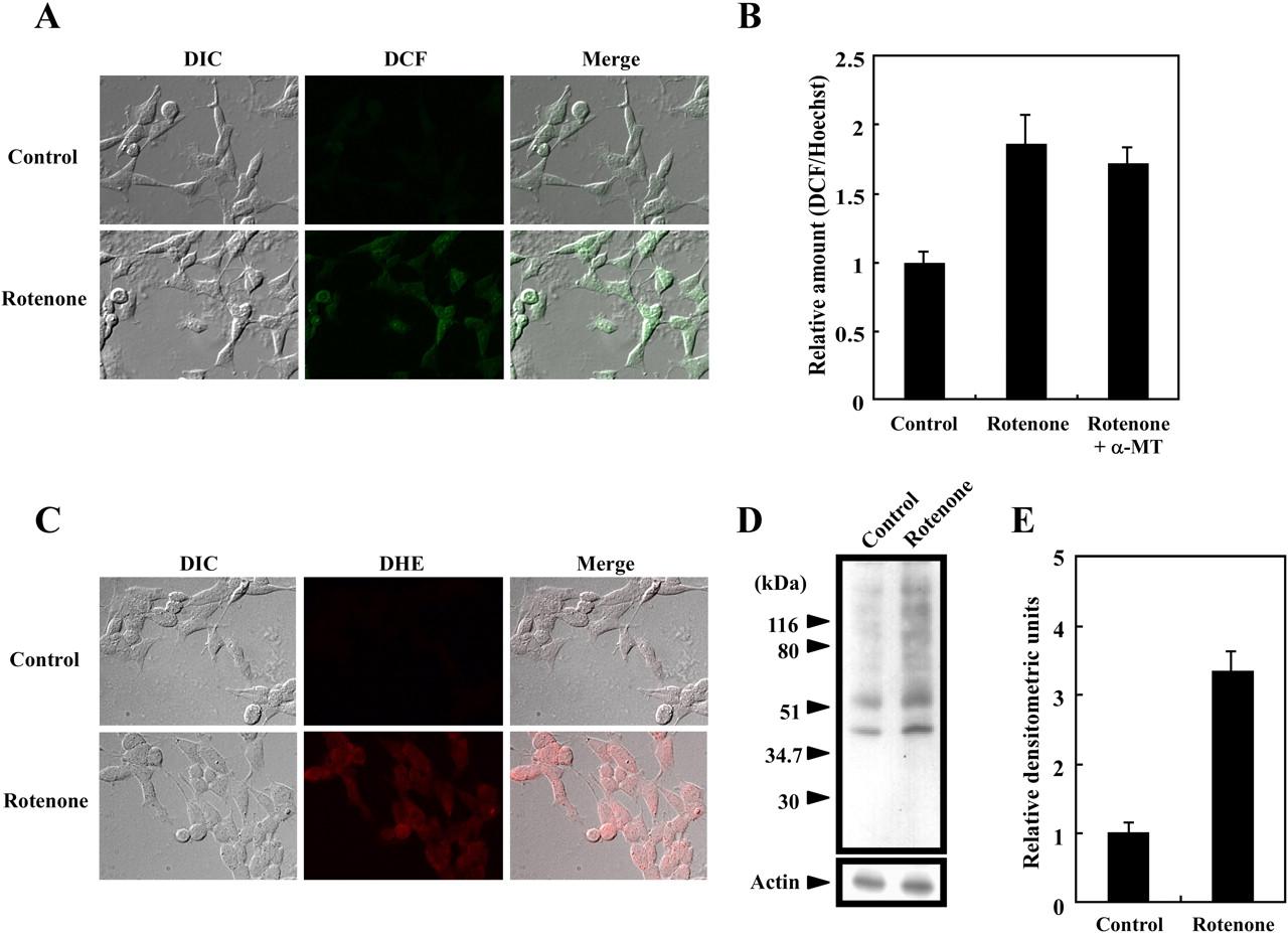 Mitochondrial Complex I Inhibitor Rotenone Elicited Dopamine