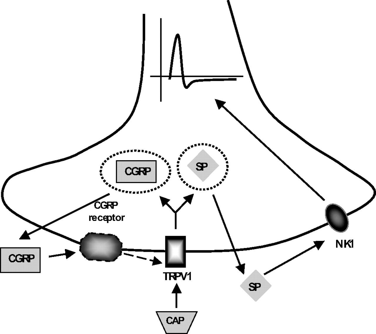 Interdependent Regulation Of Afferent Renal Nerve Activity And Renal