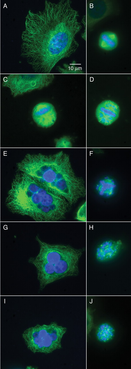 Carbendazim Inhibits Cancer Cell Proliferation by