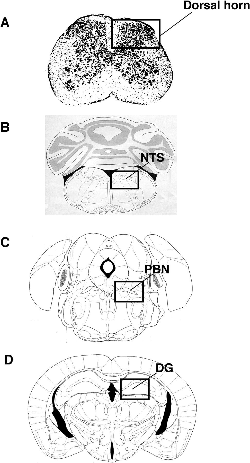 mouse brain atlas paxinos pdf