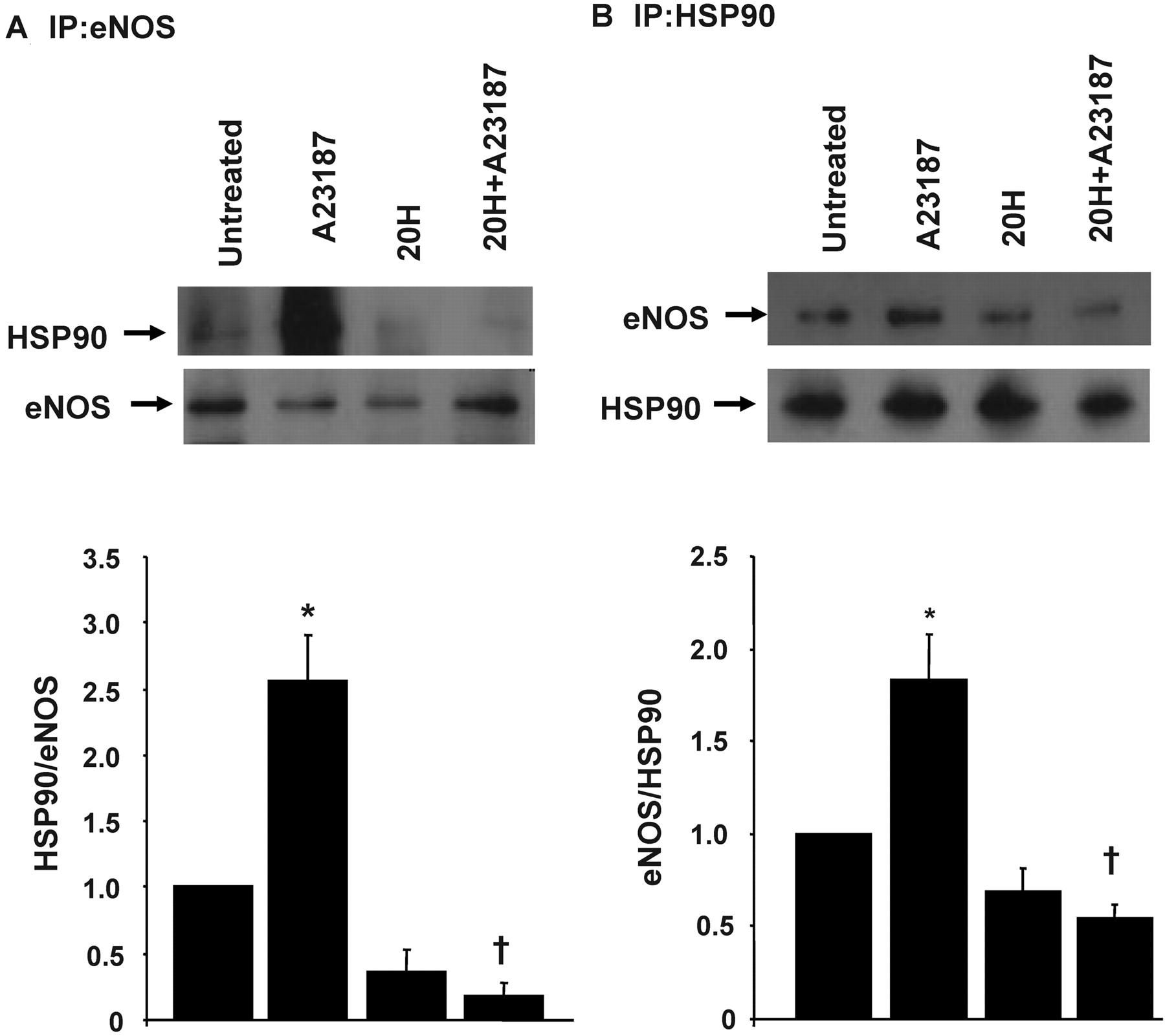 20 Hydroxy 581114 Eicosatetraenoic Acid Mediates Endothelial F67 Wiring Diagram Download Figure