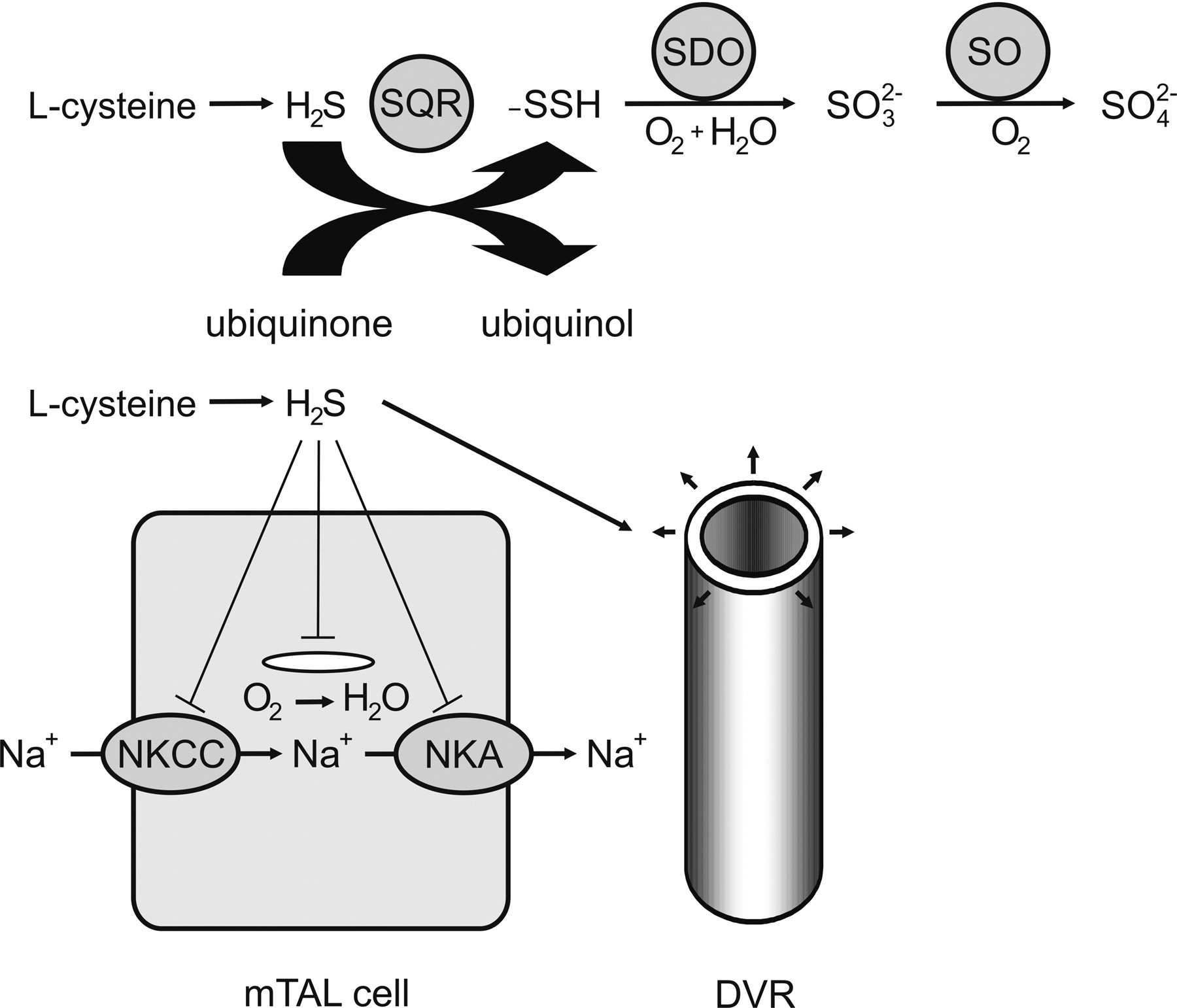 Hypoxia In The Renal Medulla Implications For Hydrogen Sulfide