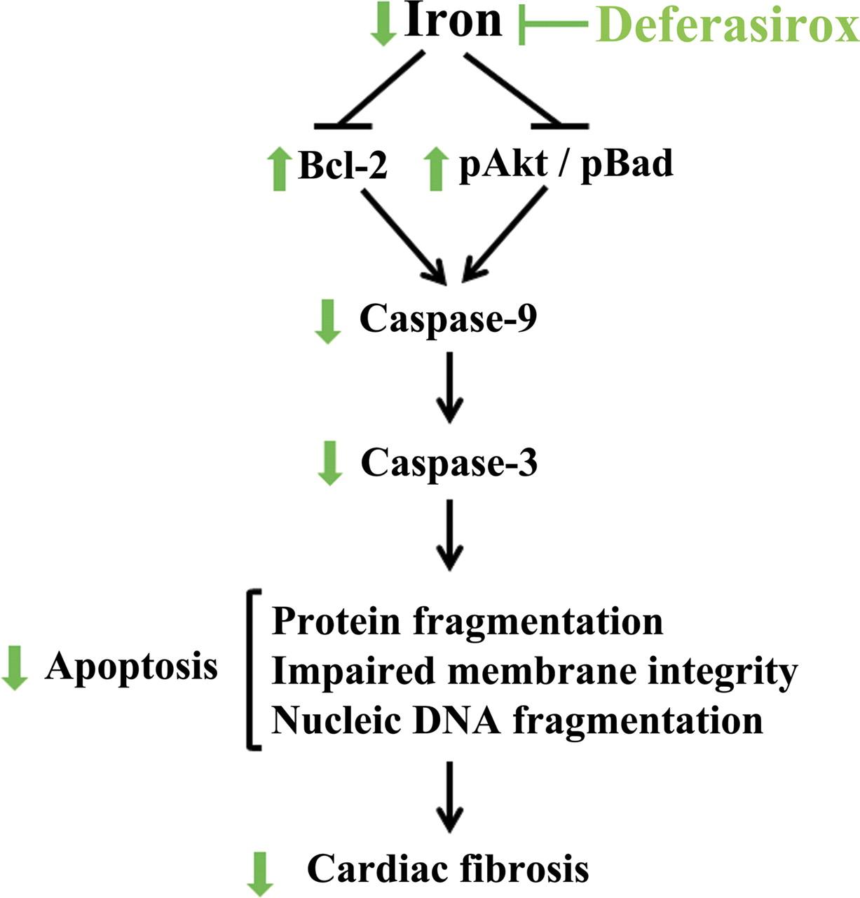 Iron Induced Cardiac Damage Role Of Apoptosis And Deferasirox