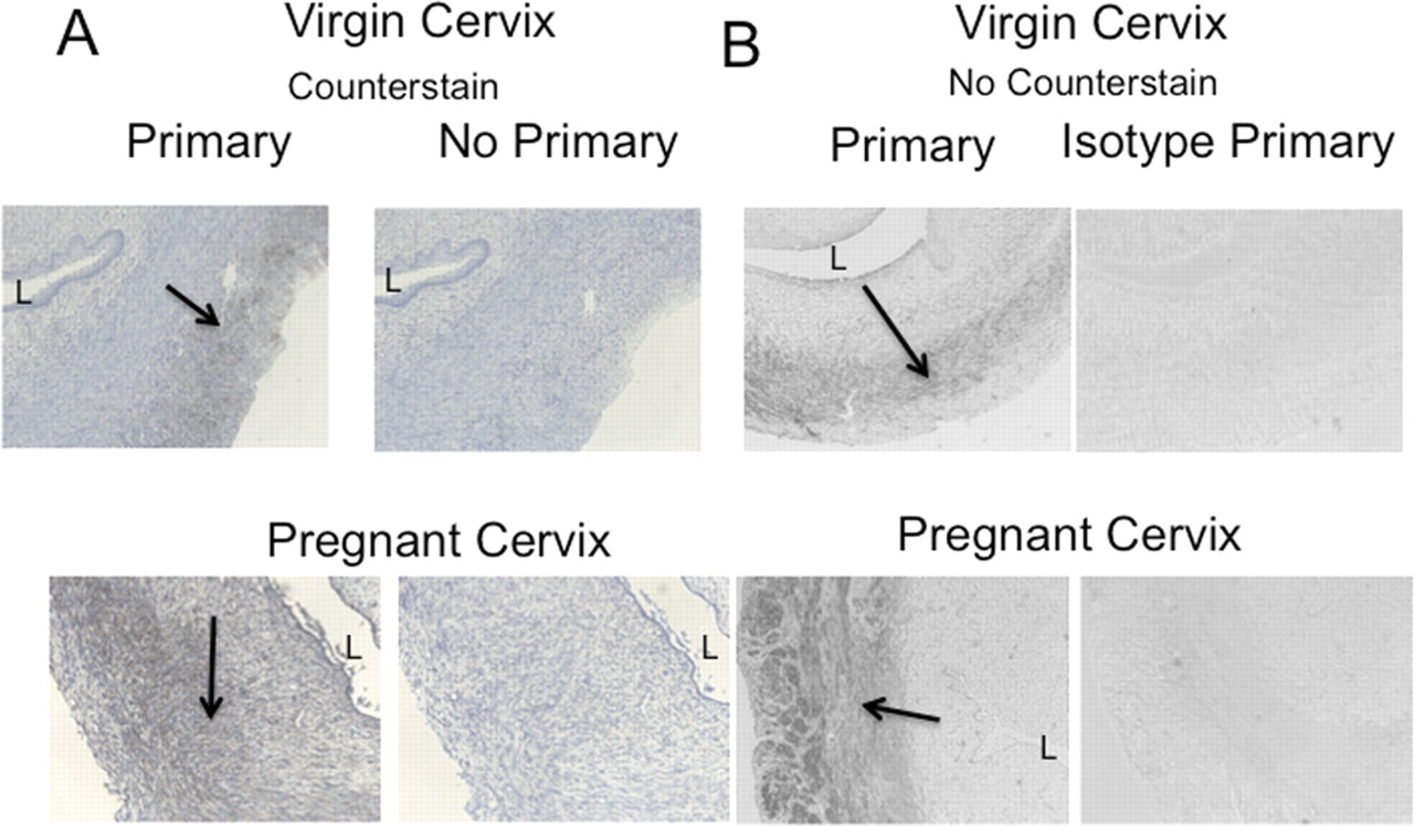 Smooth Muscle Pharmacology In The Isolated Virgin And Pregnant Rat