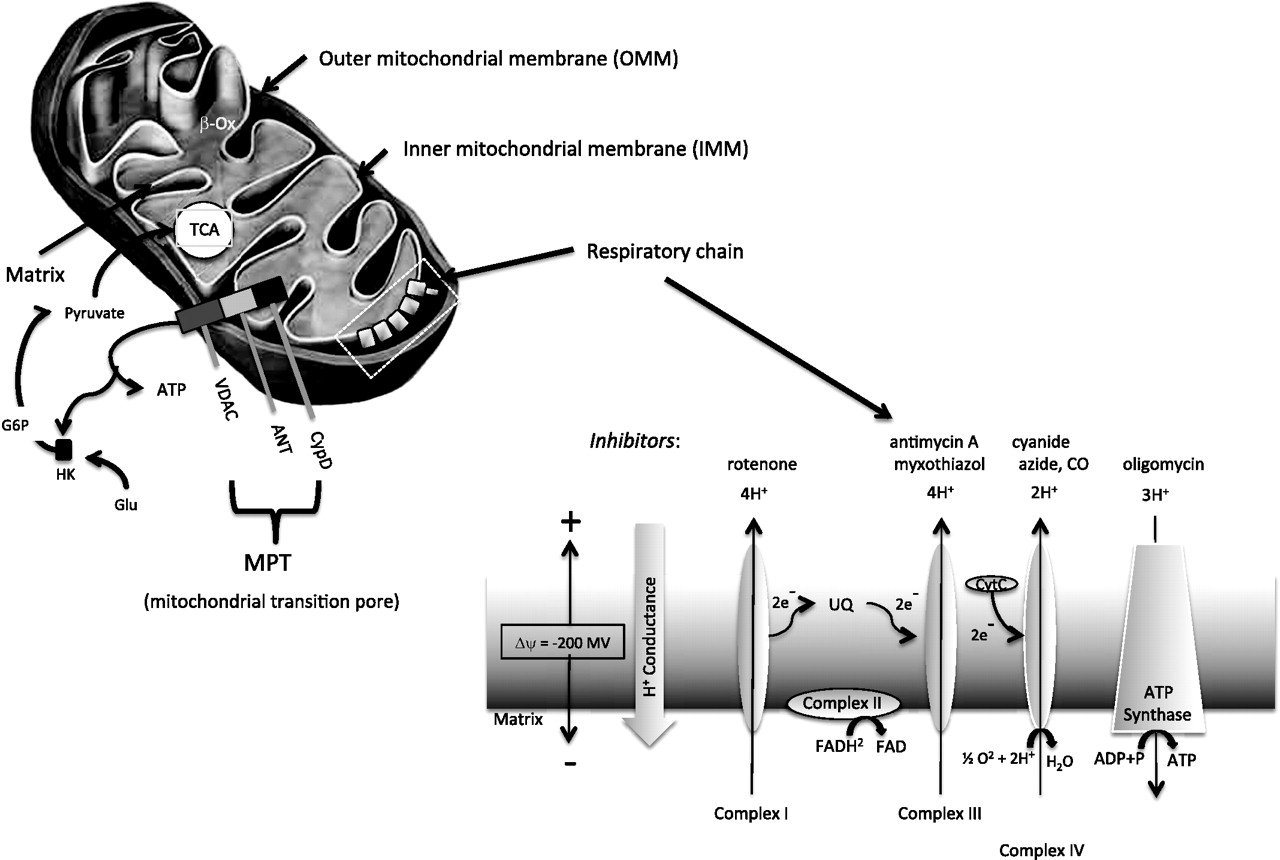 Impaired Recycling Of Mitochondria In >> Mitochondrial Function And Dysfunction An Update Journal