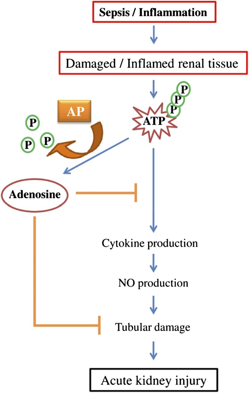 Alkaline phosphatase as a treatment of sepsis associated acute download figure ccuart Gallery