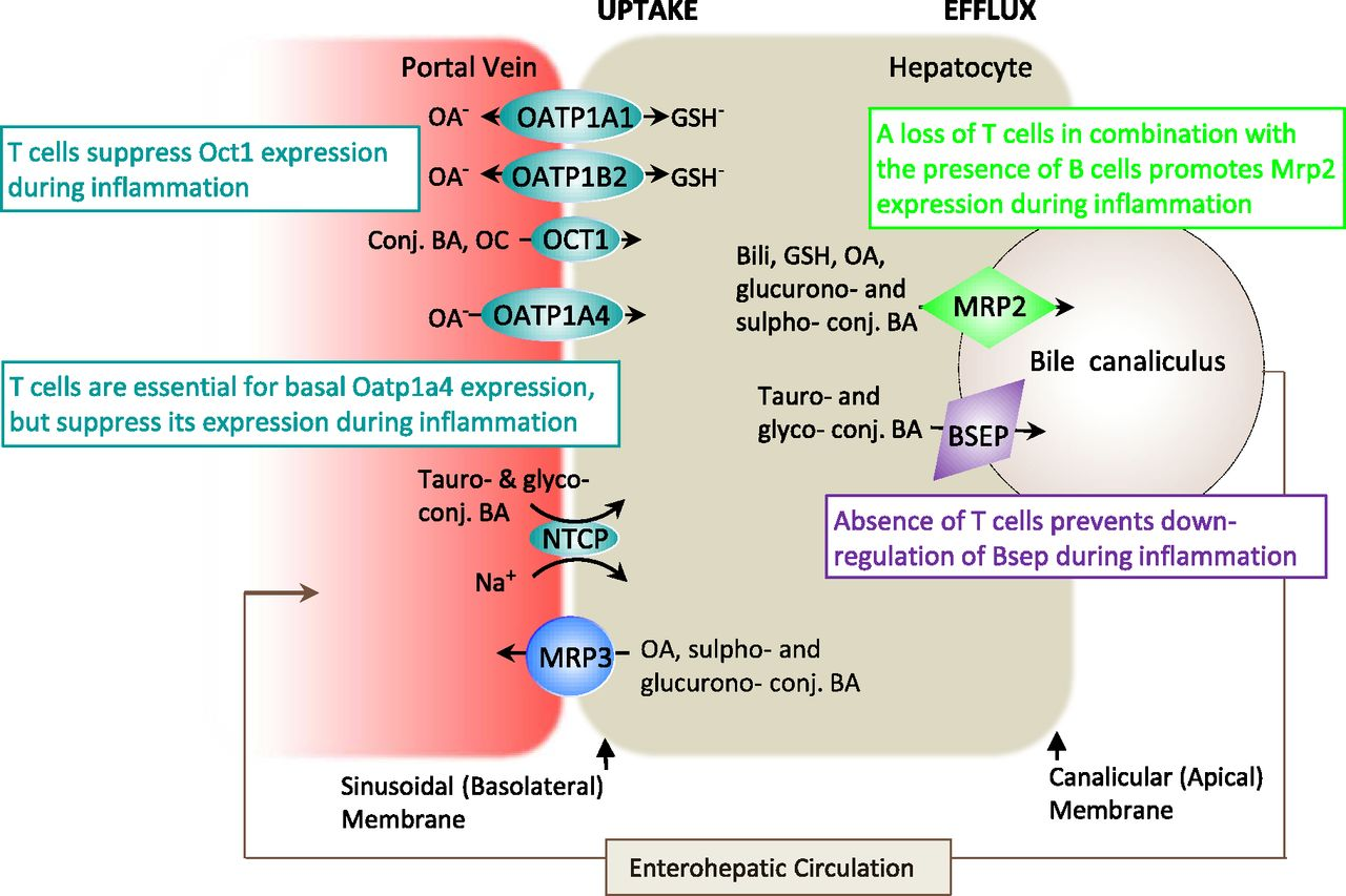 Differential Regulation Of Hepatic Organic Cation