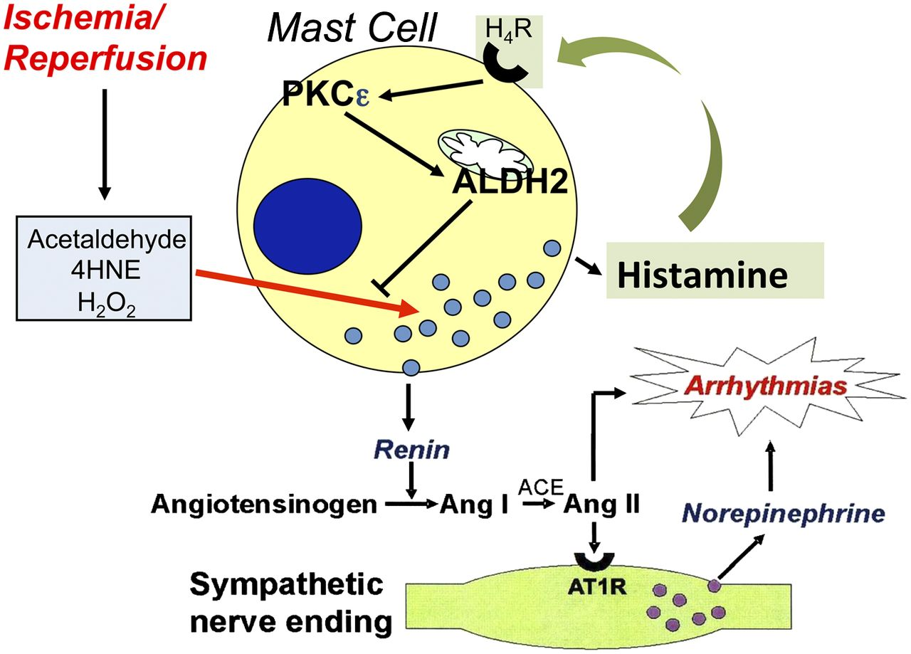 Histamine H4-Receptors Inhibit Mast Cell Renin Release in Ischemia