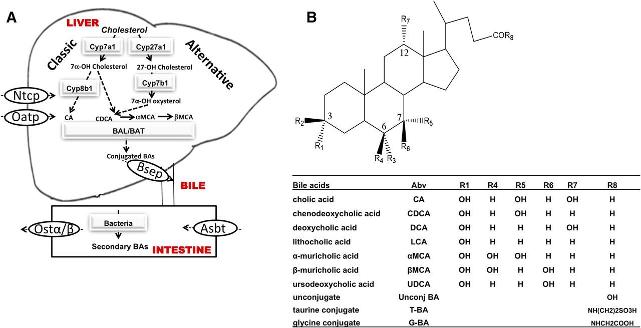 Decreased Bile Acid Synthesis In Livers Of Hepatocyte Conditional
