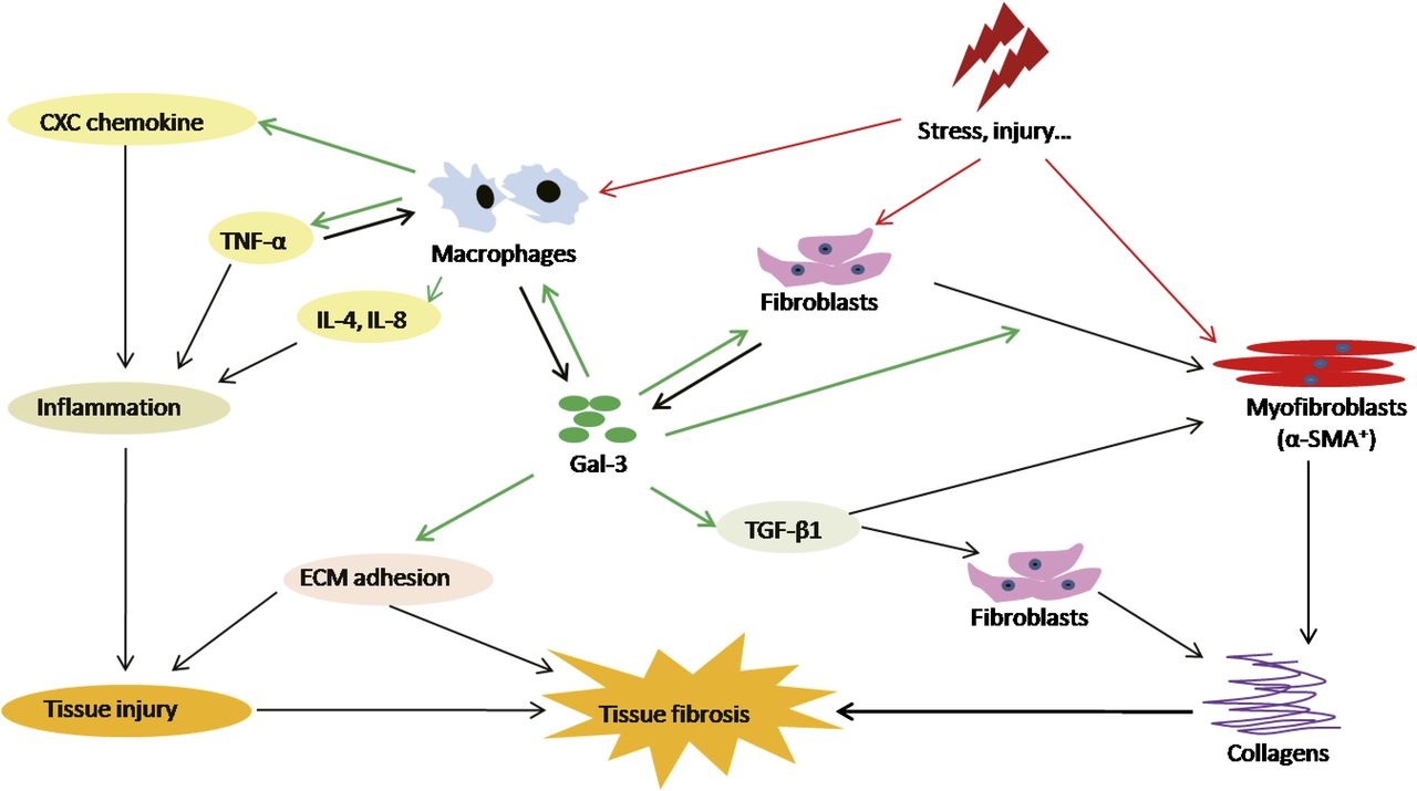 Functions of Galectin-3 and Its Role in Fibrotic Diseases