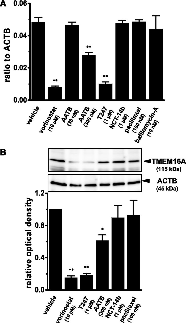 Downregulation of Ca2+-Activated Cl− Channel TMEM16A by the