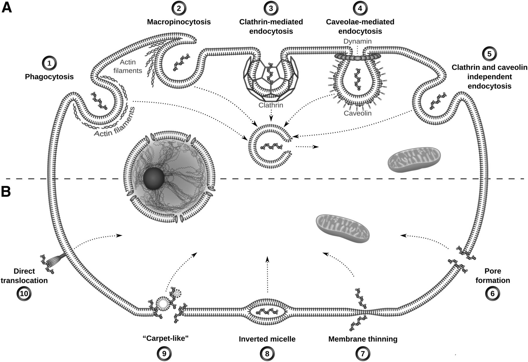 viral and other cell penetrating peptides as vectors of