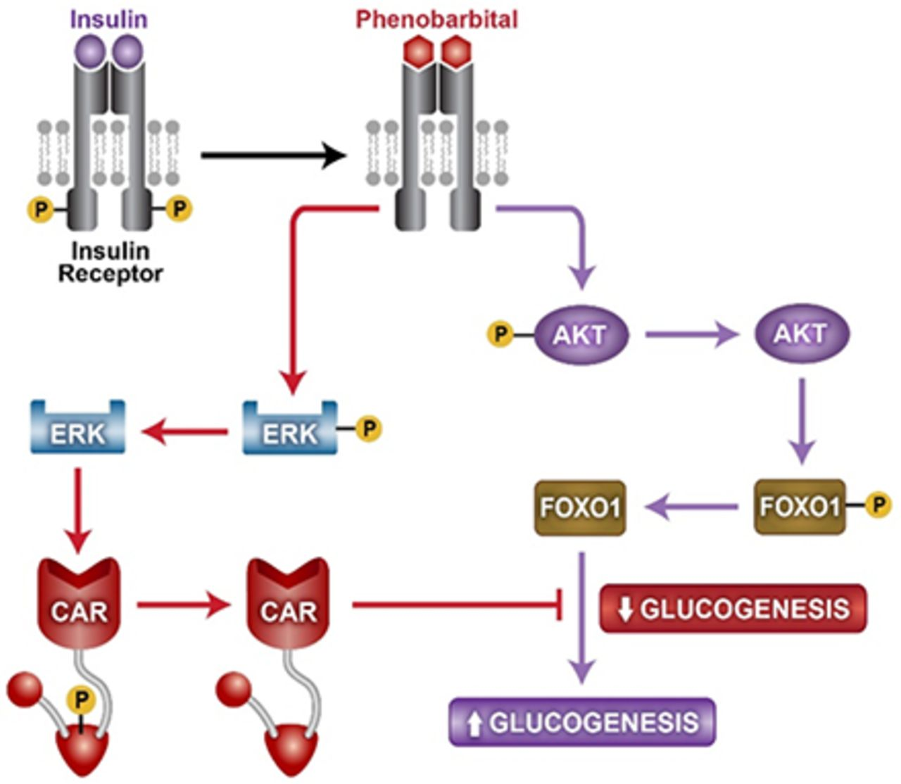 Phenobarbital and insulin reciprocate activation of the nuclear download figure pooptronica Choice Image