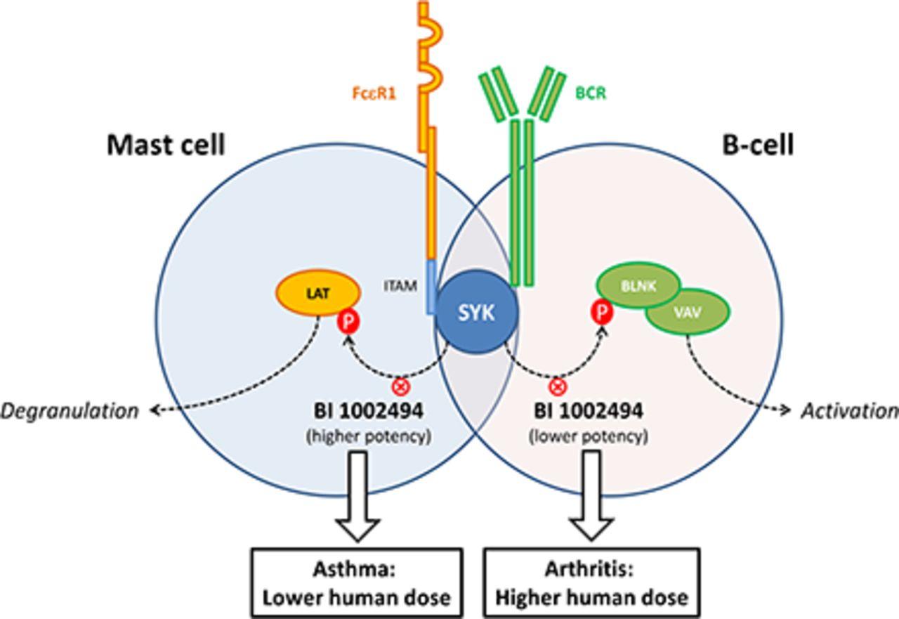 bi 1002494  a novel potent and selective oral spleen tyrosine kinase inhibitor  displays