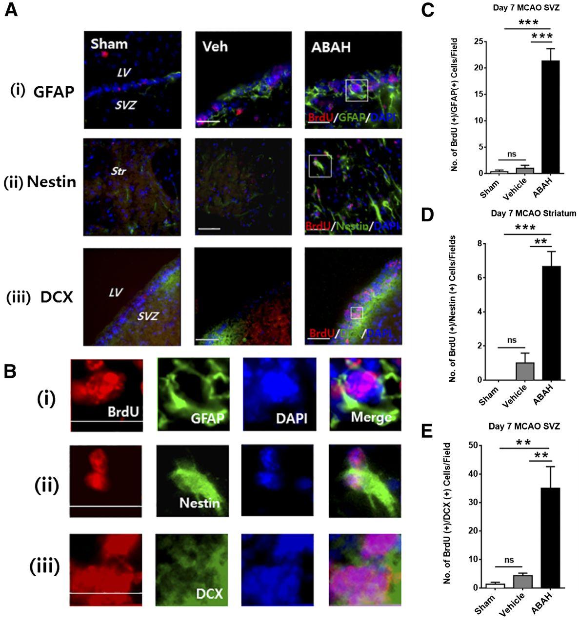 Myeloperoxidase Inhibition Increases Neurogenesis after