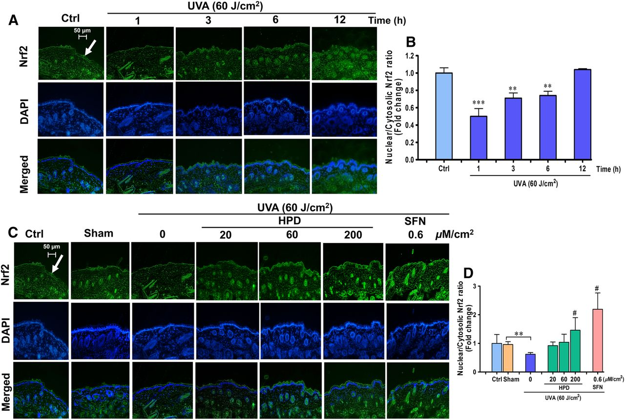 Activation of Nrf2 Reduces UVA-Mediated MMP-1 Upregulation