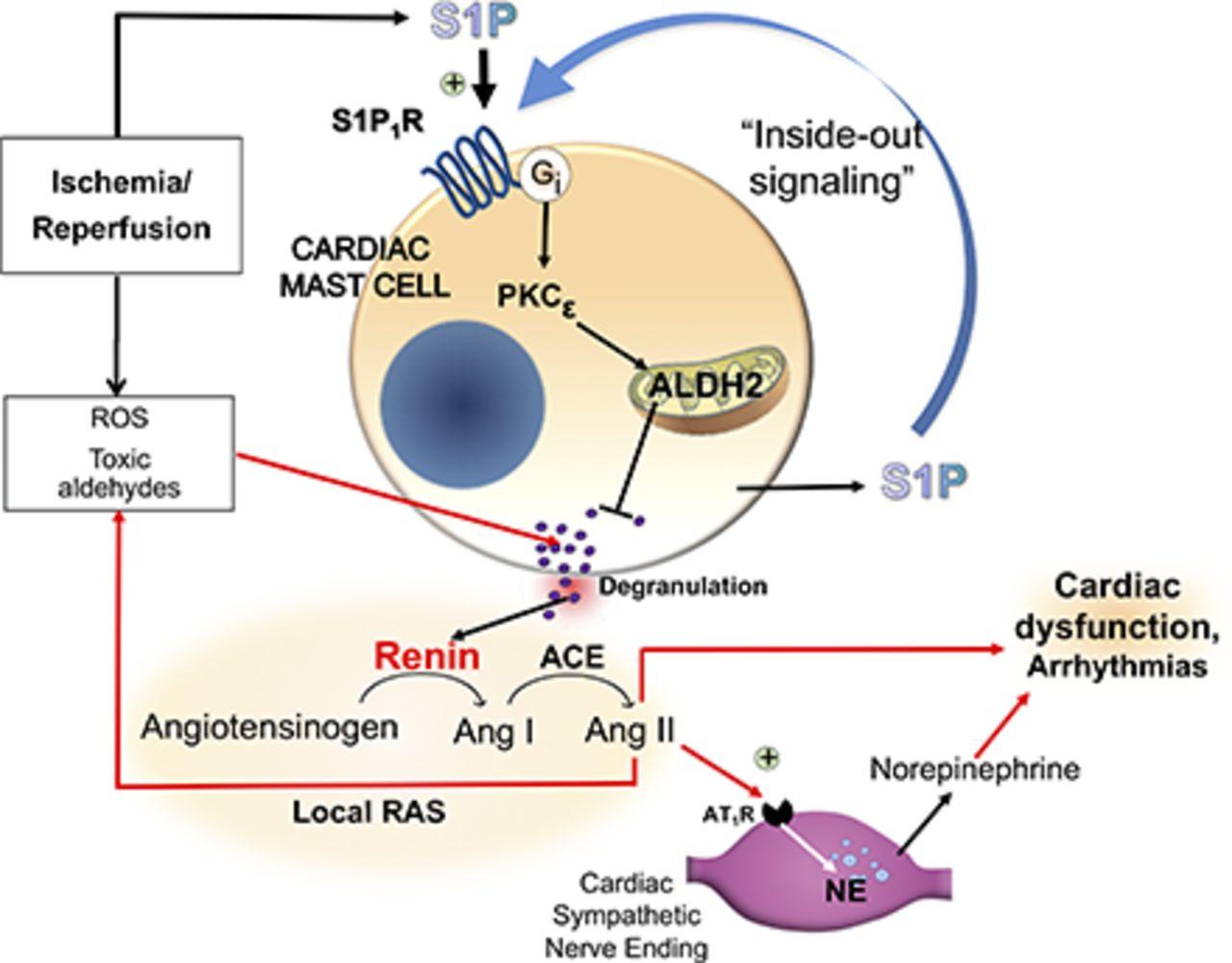 S1P receptor 1-Mediated Anti–Renin-Angiotensin System
