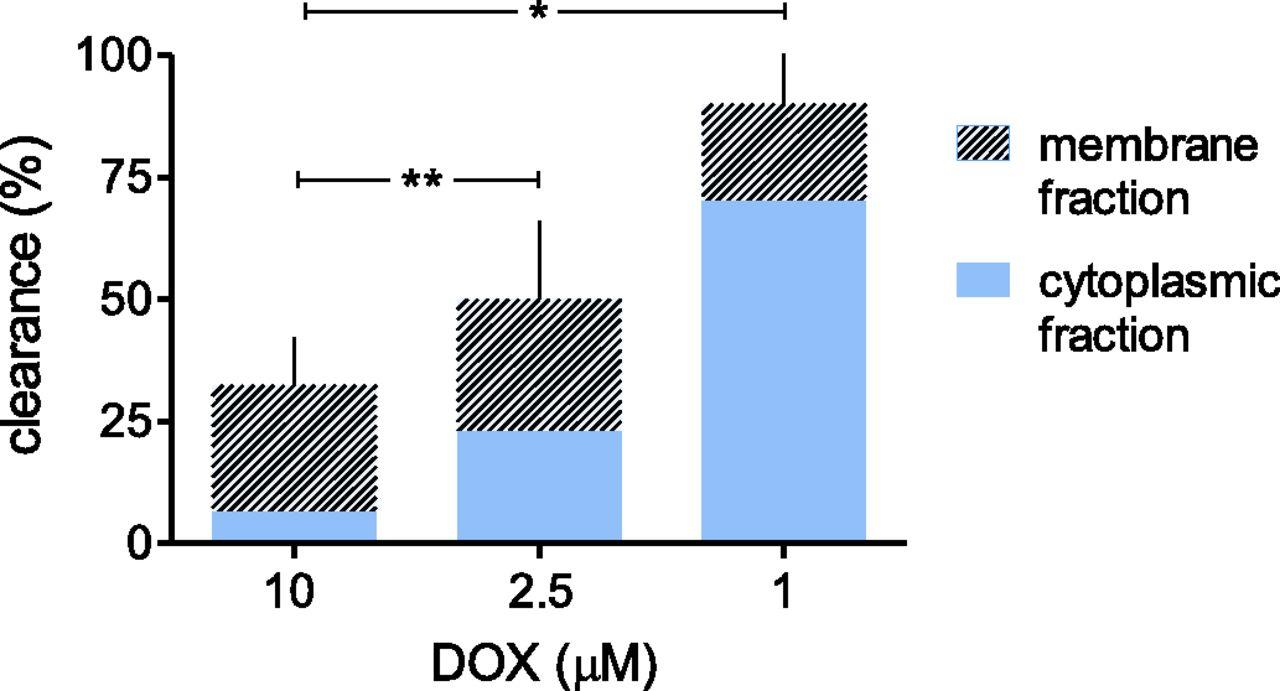 Modeling Human Myocardium Exposure to Doxorubicin Defines