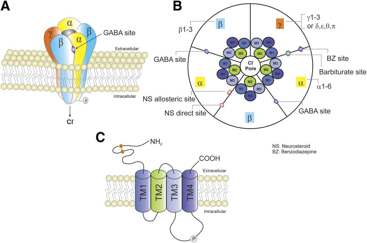 Genetic and Molecular Regulation of Extrasynaptic GABA-A Receptors