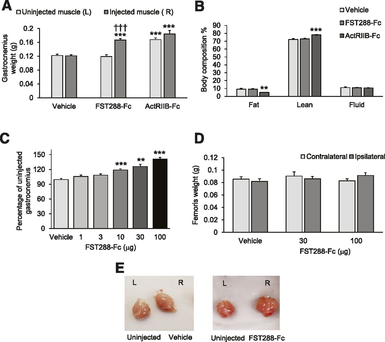 Follistatin-288-Fc Fusion Protein Promotes Localized Growth