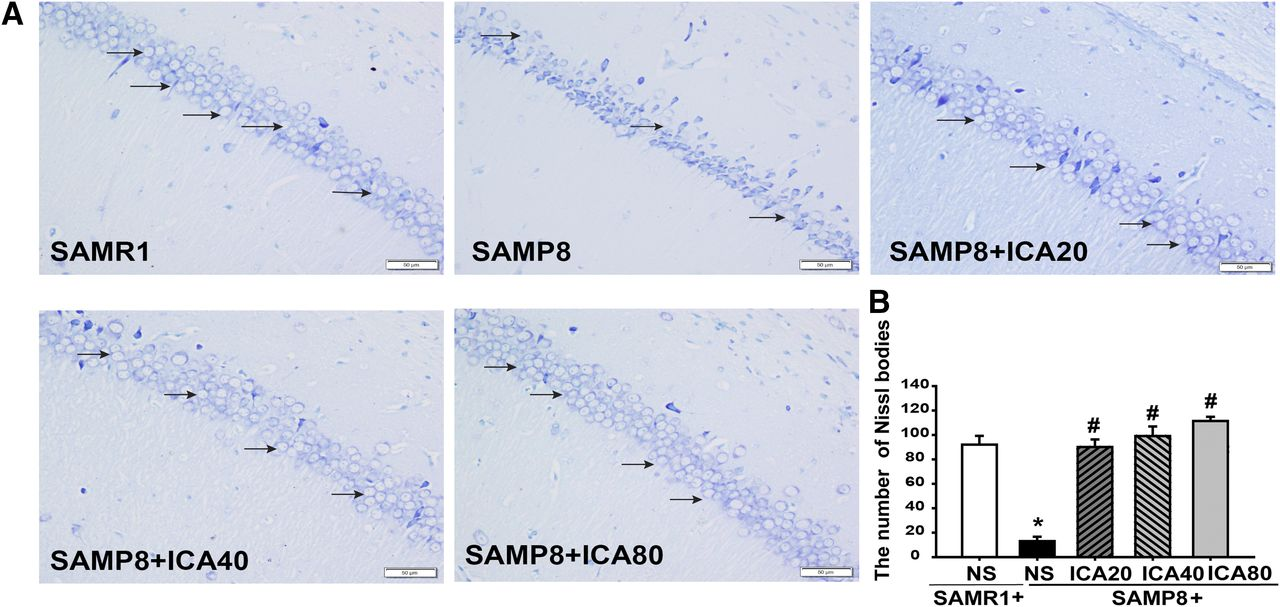bafb1bd2c Icariin Delays Brain Aging in Senescence-Accelerated Mouse Prone 8 ...