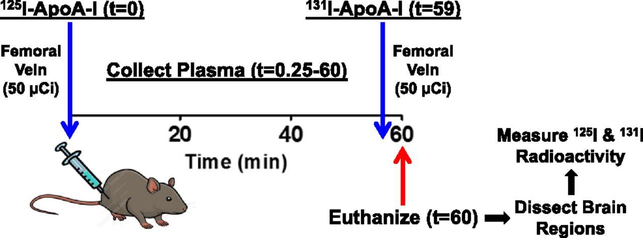 Apolipoprotein A-I Crosses the Blood-Brain Barrier through Clathrin